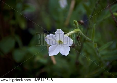 White Trumpet Flower Of Night Blooming Jasmine Plant With Shallow Depth Of Field. Also Known As Nico