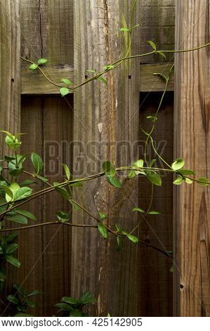 Beautiful, Graceful Vines Of A Jasmine Plant Intertwined And Growing On Old Wooden Fence On Overcast