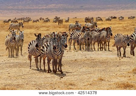 A zebra herd stops and stares at intruders poster