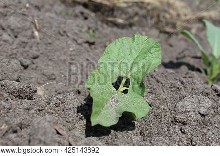 Milk Seedlings Of Beans. Growing Vegetables. Crop