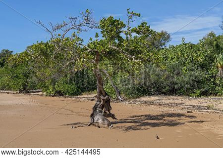 The Twisted Roots Of A Saltwater Mangrove Tree On The Beach At Low Tide In Front Of A Bushland Envir
