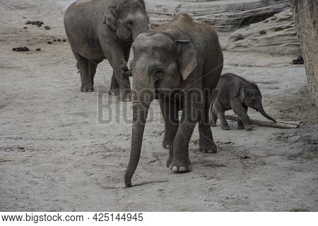 Elephant Mother, Father And Their Calf In Zoo. Cute Baby Elephant With Parents. Zoo Big Animals