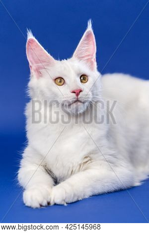 Longhair Cat Breed Maine Coon Cat. Portrait Of Furry White Color American Coon Cat, Lies On Blue Bac