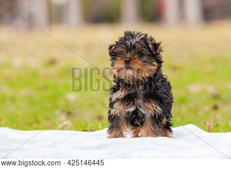 Yorkshire Terrier puppy in the park outdoors