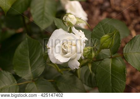 Beautiful White Rose And Bud With Leaves In The Garden