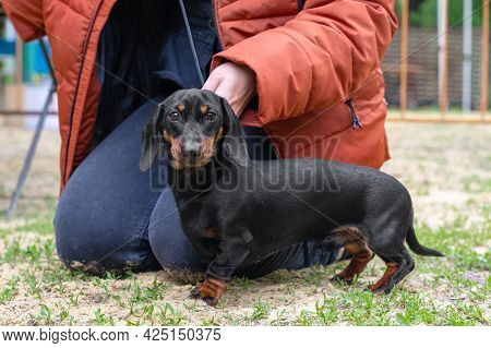 Cute Dedicated Dachshund Puppy On Leash Stands Near Owner In Warm Jacket On Meadow Grass In Park On