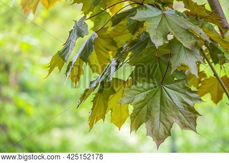 Tree Branch With Dark Red Leaves, Acer Platanoides, The Norway Maple Crimson King. Red Maple Acutifo