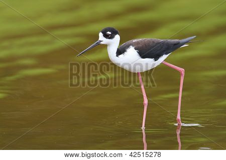 Black-necked Stilt - Everglades National Park