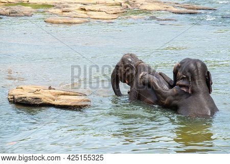 Male Elephant Trying To Have Sex With Female Elephant For Make Baby Elephants In River Of Pinnawala,
