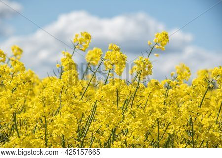Close-up Of The Yellow Flowers In An Oilseed Rape Field With Cloudy Blue Sky In Background