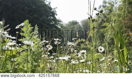 View Into An Uncultivated Meadow In Springtime With Marguerite Daisies And Different Grasses