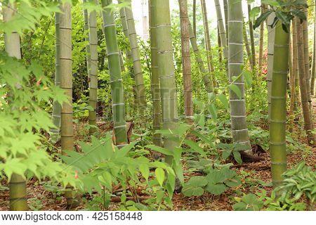 Japanese Bamboo Grove In Spring. Fresh Green Leaves