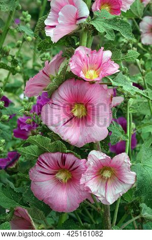 Pink Mallow Blooming In The Garden Background