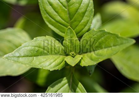Macro Shot Of Basil Leaves In A Garden, Organic Farming