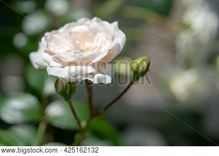 Macro Shot Of White Rose In A Garden, Copy Space