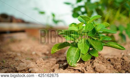 Blooming Plant Of Ashwagandha Or Withania Somnifera From Soil Ground. Medicinal Plant Of Poison Goos