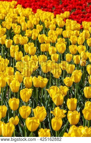 Flaccid Yellow And Few Red Tulips In The Field - Close-up Full Frame Background With Selective Focus