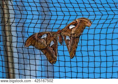 Atlas Moth, Attacus Atlas, These Are The Largest Moths In The World With A Wingspan From 10-12 Inche