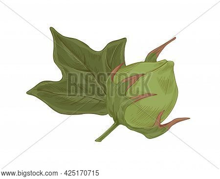 Raw Green Cotton Plant With Unblown Flower Bud. Realistic Detailed Botanical Drawing Of Coton Boll A