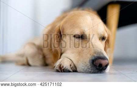 Golden retriever dog lying on the floor and sleeping. Closeup portrait of cute purebred pet doggy resting napping indoors