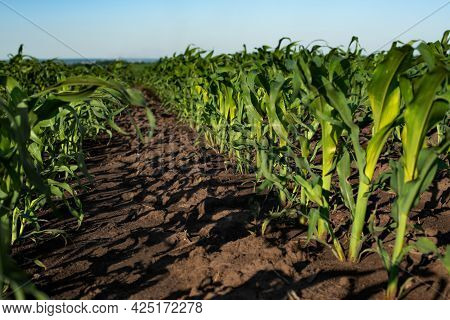 Rows Of Sprouting Maize In Fields Somewhere In Ukraine
