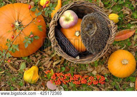 Hedgehog In The Autumn Garden. European Forest Hedgehog In A Basket With Pumpkins, Corn, Apples In T