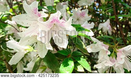 Azalea Blooms On A Green Background. Tropical Flower Grows In A Garden