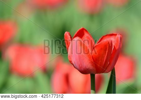 Red Tulip On A Blurry Red-green Background. Spring Time. International Women's Day. Gardening And Fl