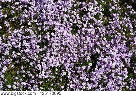 Creeping Phlox Background. Phlox Subulata With Pink Striped Petals Around A Small Patch Of Similar B