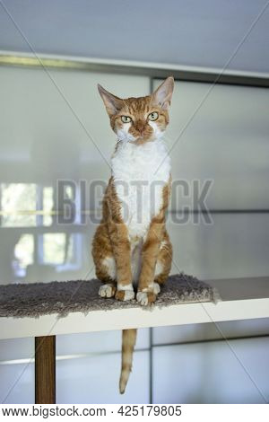 Displeased Red Cat Devon Rex Sits High On A Shelf