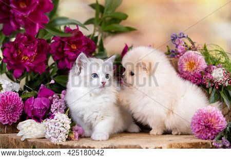 cat and dog, dachshund puppy chocolate color and White kitten