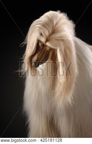 Portrait Of An Afghan Hound On A Black Background. Long-haired Dog For Excellent Grooming