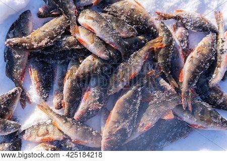 Perch Fish Lying On The Snow. Winter Fishing Catch. Perca Fluviatilis