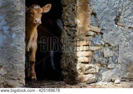 A Calf On The Door Of A Stable