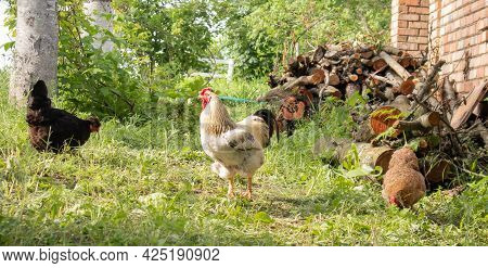 Organic Natural Red And White Rustic Chicken Roaming The Countryside. Chickens Feed In A Traditional