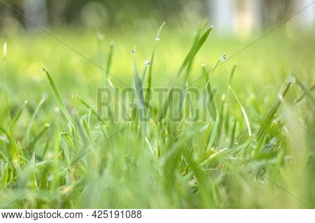 Fresh Green Grass With Dew Drops In Morning Sunny Lights. Beautiful Nature Landscape With Water Drop