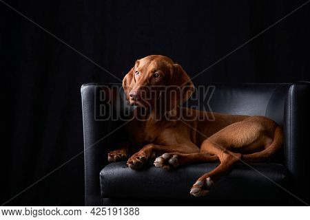The Dog Is Lies In Leather Armchair. Hungarian Vizsla In The Studio