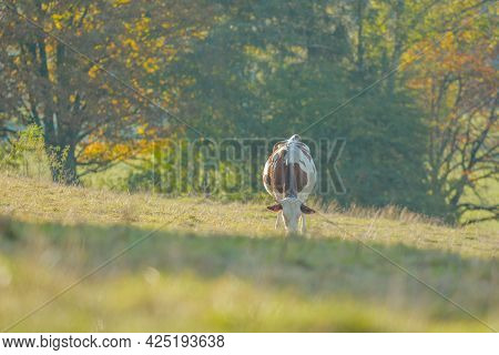 Cow In A Pasture In France.