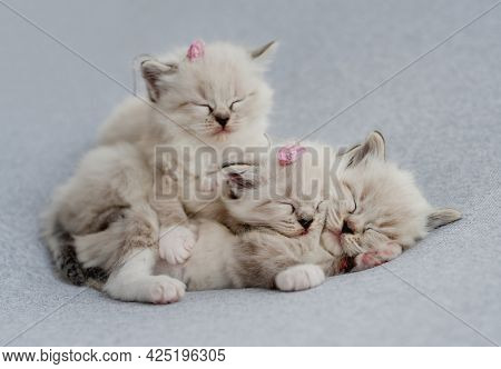 Three adorable little fluffy ragdoll kittens with flower decoration on their heads sleeping together on light blue fabric during newborn style photoshoot in studio. Cute napping kitty cats portrait