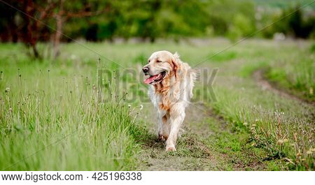 Old adorable golden retriever dog walking at the nature with tonque out feeling thirst in hot sunny day. Portrait of doggy pet labrador in summer park with green grass
