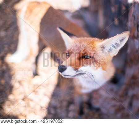 Red fox face close up. Blurred autumn nature at the background.