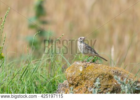 Tawny Pipit, Anthus Campestris, Single Bird On Rock,