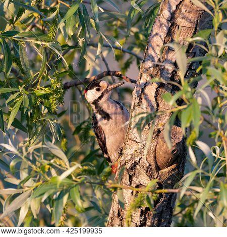 Syrian Woodpecker Dendrocopos Syriacus In The Wild.