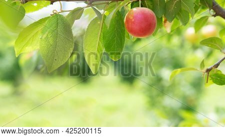 One Red Round Cherry Plum On A Branch. Red Mirabelle Plum Prunus Domestica . Blurred Green Backgroun