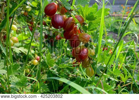 A Branch Of Gooseberry With Ripe Red Berries.