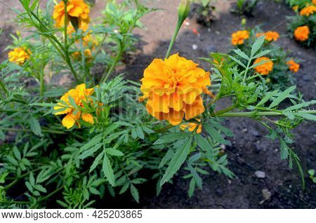 French Marigold Flower Growing In The Garden.
