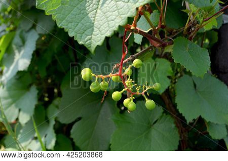A Sprig With Berries Of Green Unripe Grapes.