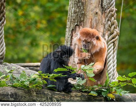 The East Javan Langur Or Trachypithecus Auratus Also Known As The Ebony Lutung