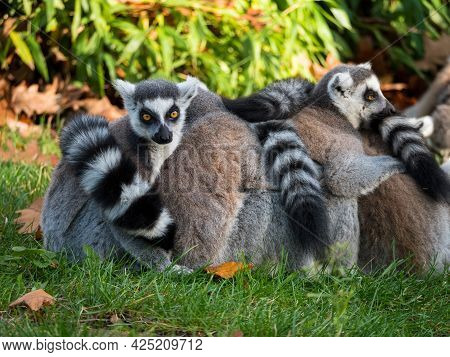 Group Of Ring-tailed Lemur Monkeys With Long Striped Tails