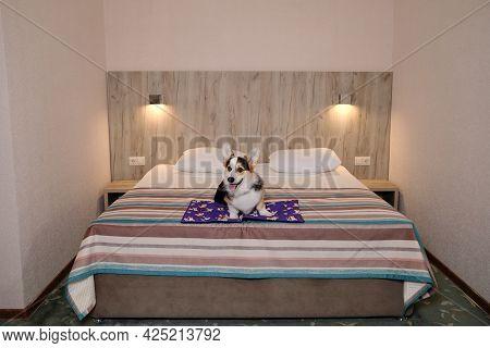 Welsh Corgi Pembroke Tricolor Is Resting In Dog Friendly Hotel And Enjoying Life. Corgi Is Sitting O